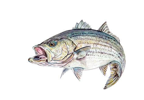 bass fishing boat stickers striped bass fish saltwater fishing auto boat glass bumper