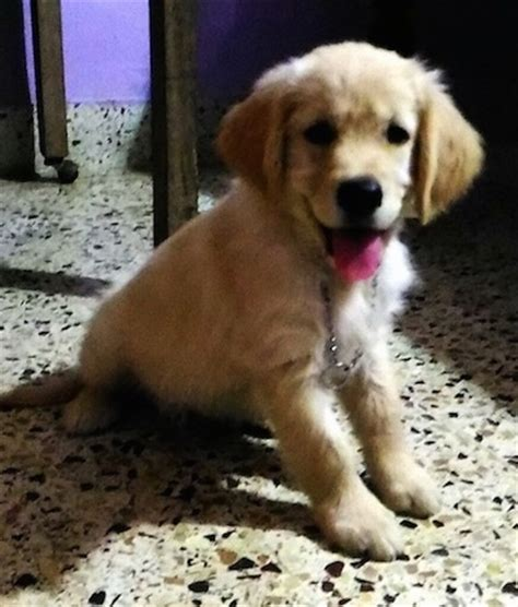 2 month golden retriever golden retriever breed pictures 2