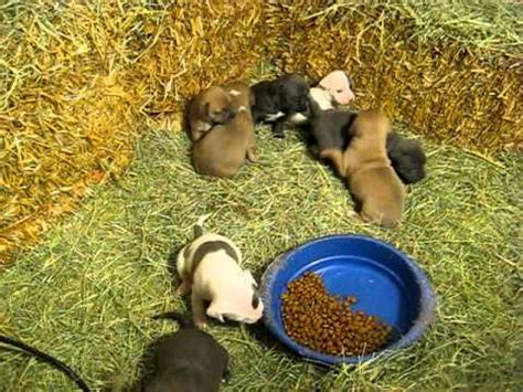 pitbull puppies for sale in albuquerque pitbull puppies for sale in albuquerque new mexico nm gallup carlsbad