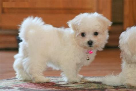 maltese puppies for sale az maltese puppies sale classified by berybrowne tea cup maltese puppies for