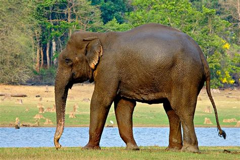 elephant biography in hindi picture 7 of 12 indian elephant elephas maximus indicus