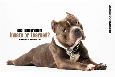dogs and personalities temperament innate or learned bully 174