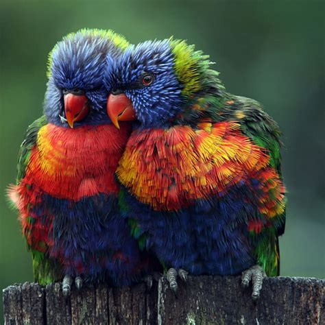 birds lovebirds rainbow image 453402 on