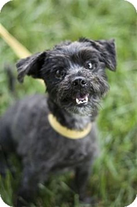 shih tzu rescue glasgow indianapolis in shih tzu scottie scottish terrier mix meet buzz a for adoption