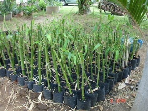 various ways of propagating bamboo easy simple clear instructions bamboo against emissions