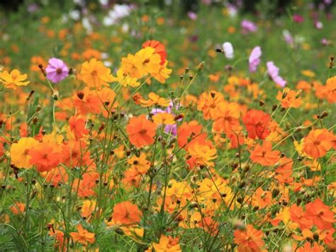 cosmos bright lights mix seeds garden hoard