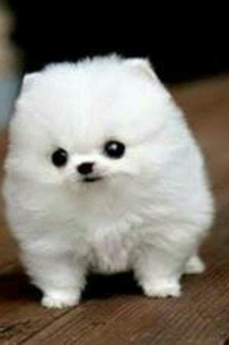 puffball puppy puff cuite