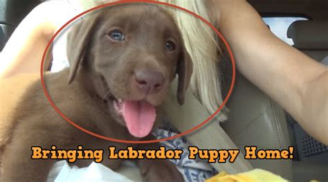 bringing a puppy home to another it is an joyous occasion to bring labrador retriever puppy home blab