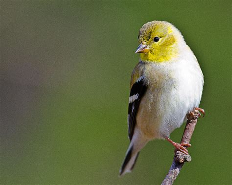 american finch photograph by ray downs
