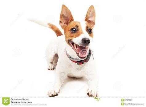 jack russell terrier imagenes jack russell terrier imagen de archivo imagen 33157241