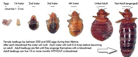 what do bed bugs look like to the human eye what do bed bugs look like pest cemetery