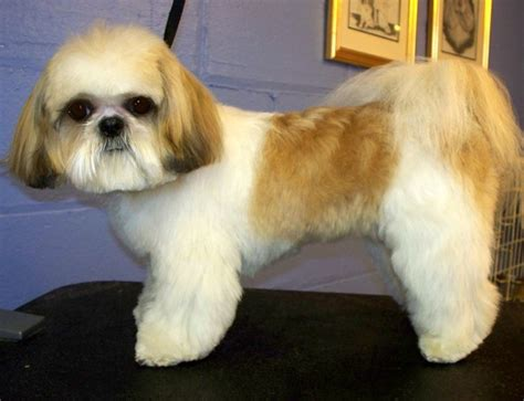 hair cut shih tzu snd poodle 29 best shih haircuts images on pinterest bath cute