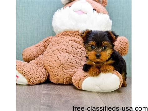 yorkie puppies for sale in modesto ca x yorkie puppies ready animals modesto california announcement 45138
