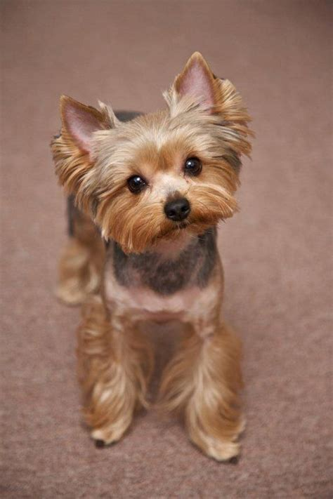 Yorkie Haircuts Pictures   Best Haircuts   Animals being Cute/Sweet to others   Pinterest