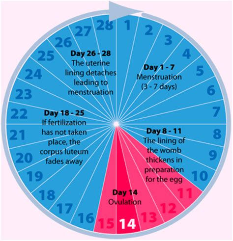 Cycle Calendar The Menstrual Cycle Phases