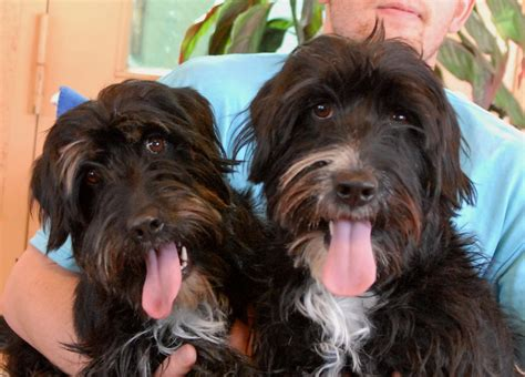 yorkie puppies for sale in ta fl schnauzer scottish terrier mix for sale breeds picture