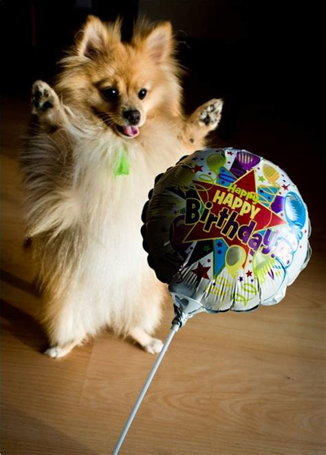 national pomeranian day 54 best pomeranian birthday images on pomeranians happy birthday and