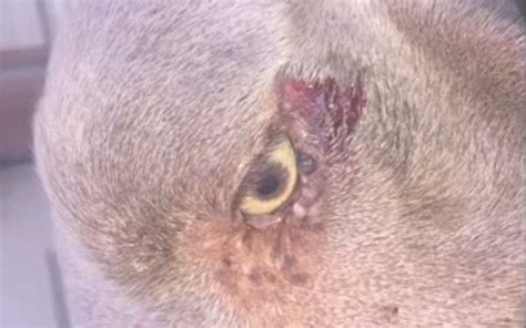 puppy concussion horrifying shows contractor beating family s with a wrench daily mail
