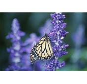 Tall Purple Plants That Attract Butterflies  Home Guides