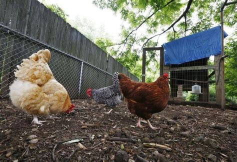 ohio leads for salmonella cases linked to backyard chickens