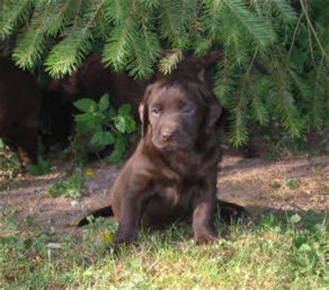 5 week lab puppies klondike labrador puppies for sale