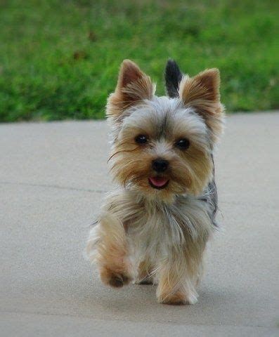 teacup yorkie haircuts pictures they always look so happy yorkie haircut awesome