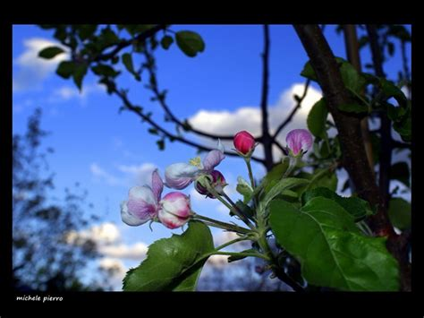 melo in fiore melo in fiore foto immagini piante fiori e funghi