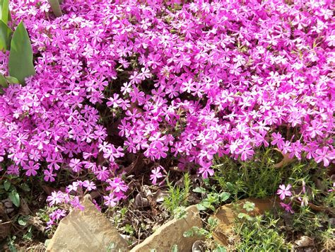 pictures of phlox flowers beautiful flowers