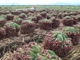 Agen Bibit Bawang Merah jual bawang merah grosir produk