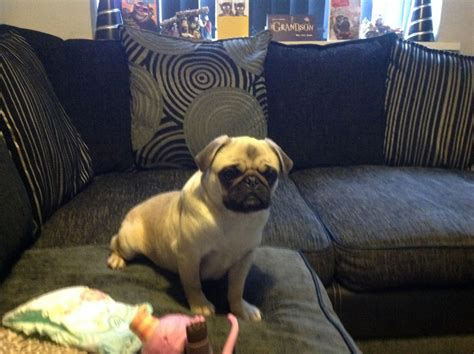 pugs in season quality fawn pug due in season halesworth suffolk pets4homes