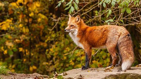 Download Wallpaper 2048x1152 Fox, Red fox, Red, Autumn HD