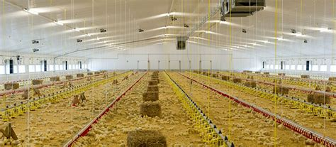 Broiler Shed by How To Build Poultry Shed In India Free Amish Shed Plans