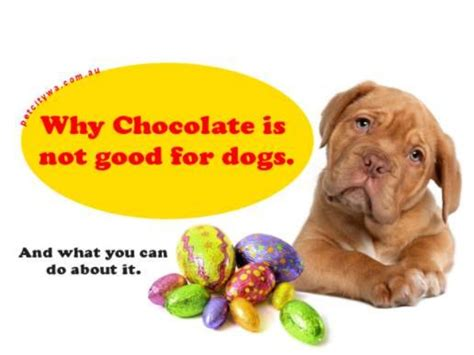 how much chocolate is toxic to dogs chocolate toxicity in dogs thin