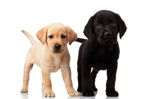 when do puppies go into heat how often do unspayed dogs go into heat familypet