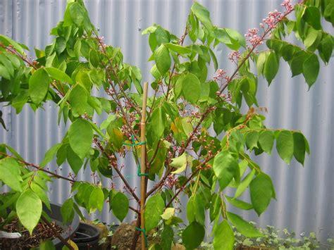 carambola fruit tree daleys fruit tree fruit carambola kembangan