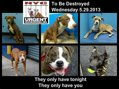 nycacc urgent dogs 17 best images about dogs 5 2013 nyc tbd euth list nycacc on rottweiler