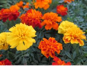 marigolds shade plant of the day marigolds artful planters