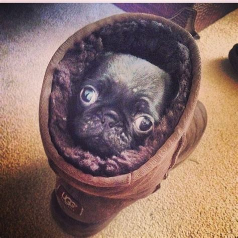 pug in a ugg 20 pugs in uggs who prove they re anything but basic barkpost