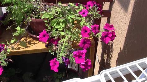 pianta con fiori fucsia plant with fuchsia flowers pianta con fiori fuxia