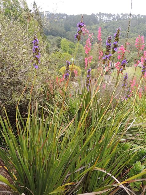 Botanical Gardens Northern California Plantfiles Pictures Aristea Aristea Capitata By Anniesannuals
