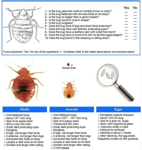 can you see bed bugs with a black light how big are bed bugs to the human eye bedding sets