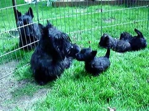 scottish terrier puppies for sale ohio scottish terrier puppies dogs for sale in miami florida fl 19breeders