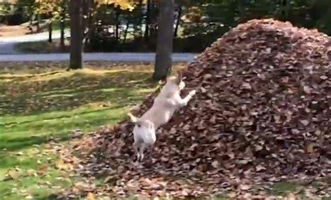 dog loves jumping   pile  leaves      world digg