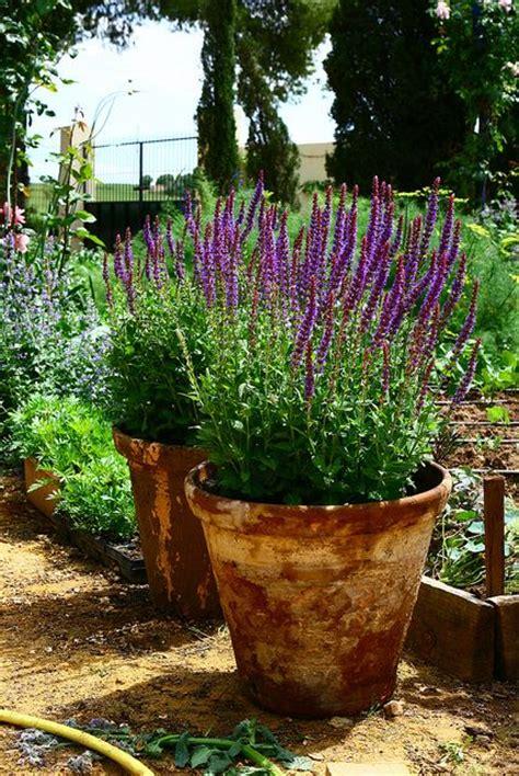 lavender container garden potted lavender my garden