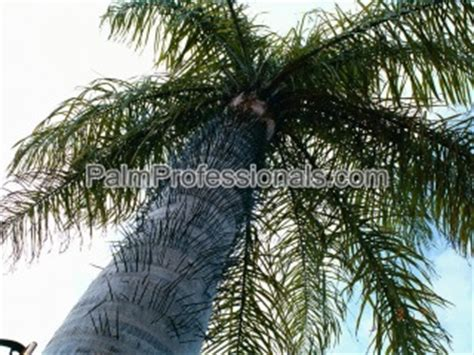 where to buy trees in houston acrocomia aculeata palm tree for sale in houston