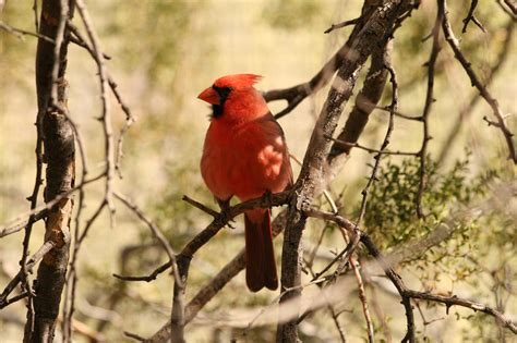 10 interesting facts about northern cardinals
