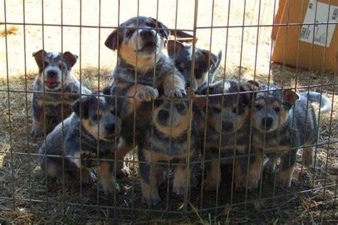 blue heeler puppies for sale blue heeler puppies for sale blue heeler breeders bertonqh