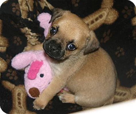 frenchie pug mix bulldog pug mix puppies cfxq