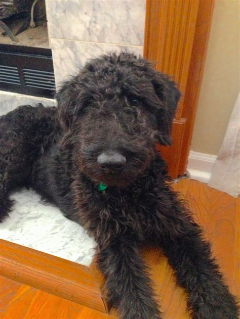 airedoodle puppies 17 best images about all things poodle on poodles puppys and golden
