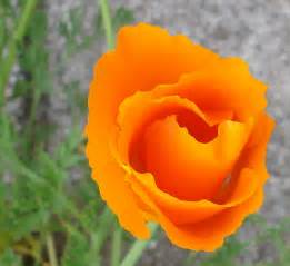 what is a state flower california state flower quotes quotesgram